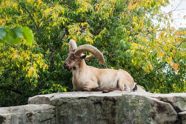 Wilde gebirgsziegen im moskau-zoo russland.