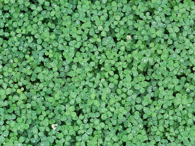 Wilde grüne kleeblätter im tauhintergrund. mit einigen blumen. fototextur