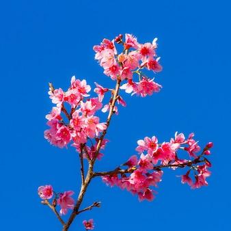Wilde himalajakirschblüte auf blauem himmel