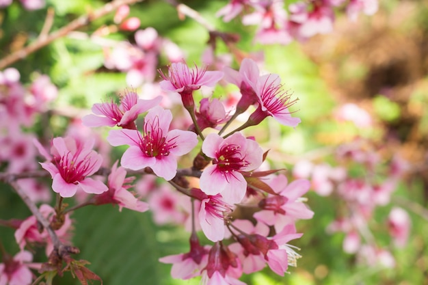 Wilde himalajakirschblüten im frühjahr jahreszeit, rosa sakura flower