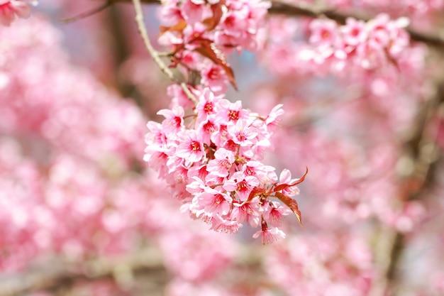 Wilde himalajakirschblüten im frühjahr (prunus cerasoides), kirschblüte in thailand