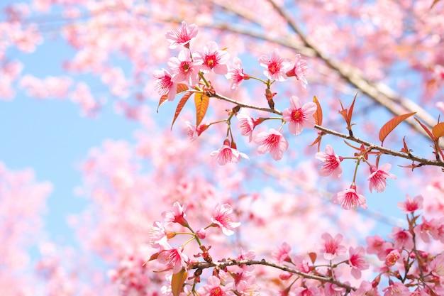 Wilde himalajakirschblüten im frühjahr, prunus cerasoides, rosa sakura flower