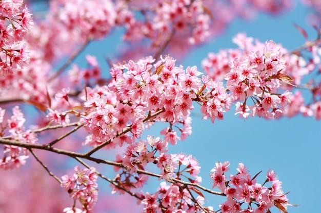 Wilde himalajakirschblüten im frühjahr