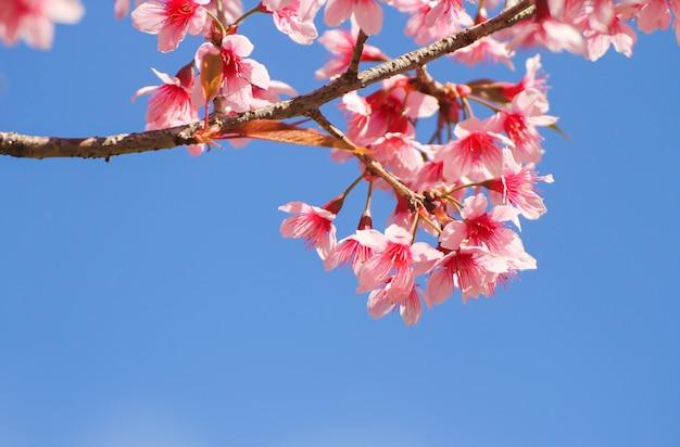 Wilde himalajakirschblumen oder kirschblüte über blauem himmel