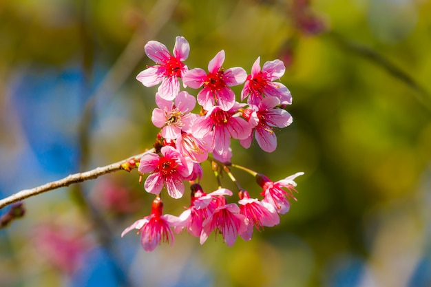 Wilde himalaya-kirschblüte