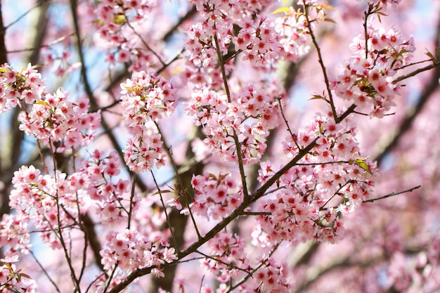 Wilde himalaya-kirschblüten im frühling (prunus cerasoides)