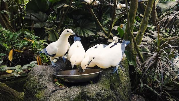 Wilde hungrige tauben weiße und blaue farbe essen von der schüssel, die auf grauem stein steht