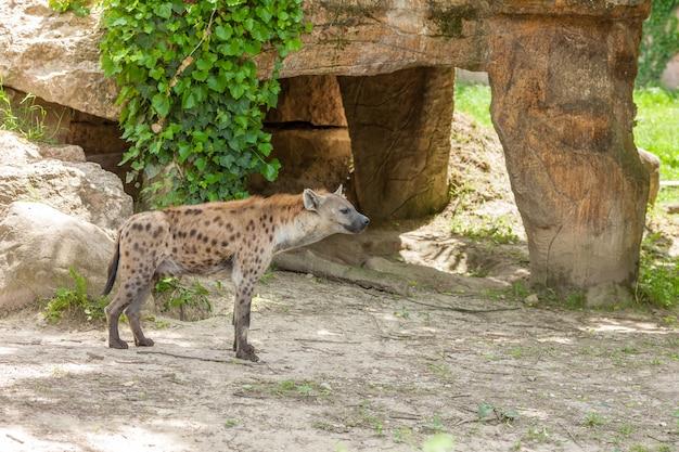Wilde hyäne im zoo wandern