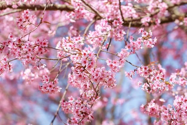 Wilde jahreszeit des himalajas cherry blossoms (prunus cerasoides), kirschblüte in thailand, selektiver fokus