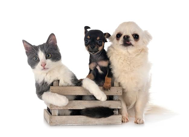 Wilde katze und chihuahua lokalisiert auf weiß