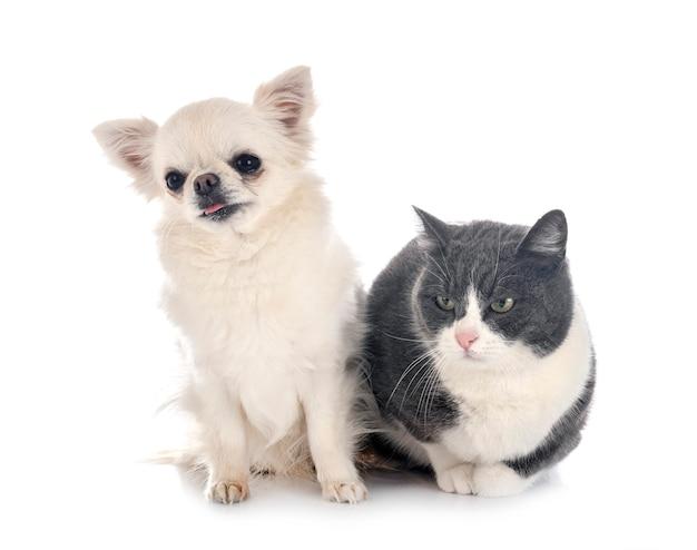 Wilde katze und chihuahua vor weißem hintergrund
