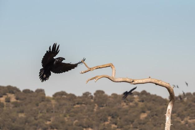 Wilde krähe im flug vor der landung auf einem ast