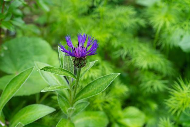 Wilde lila blume, umgeben von grün auf unscharfem hintergrund