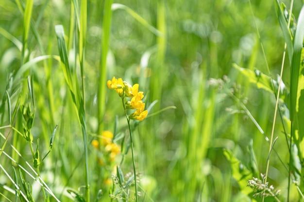 Wilde linaria-blume blüht und grünes gras auf wiese