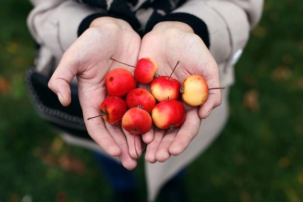 Wilde miniäpfel in den händen eines mädchens.