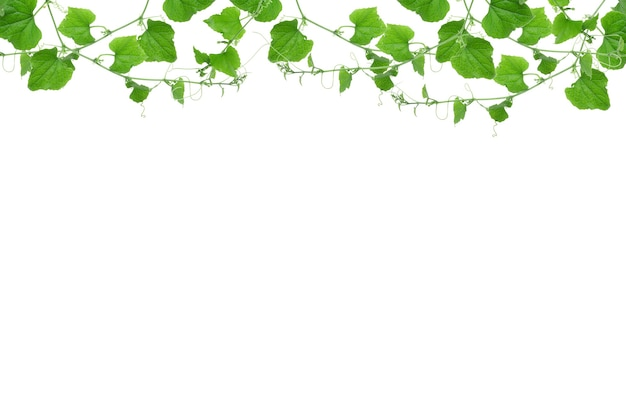 Wilde morgenruhm lässt dschungelreben tropische pflanze isoliert auf weißem hintergrund