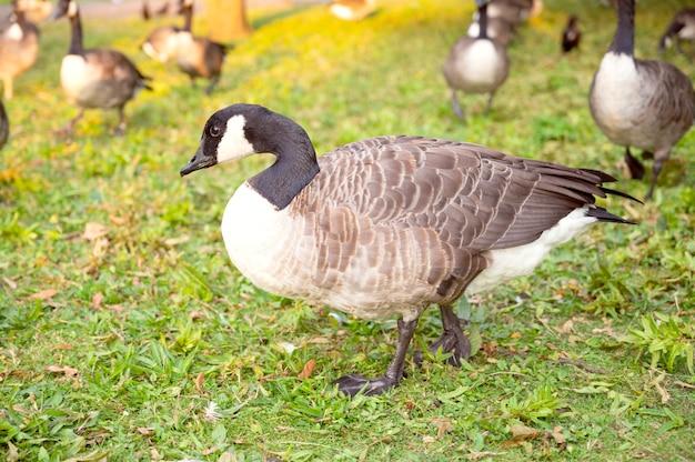 Wilde nahaufnahme graue gans im hyde park bei sonnenuntergang - london, vereinigtes königreich.
