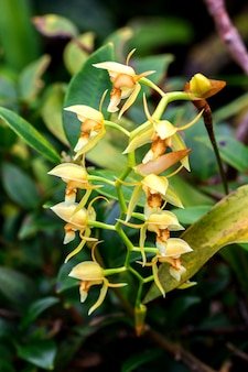 Wilde orchideen, gelbe blüten in der naturcoelogyne ist eine orchidee mit wunderschönen blüten