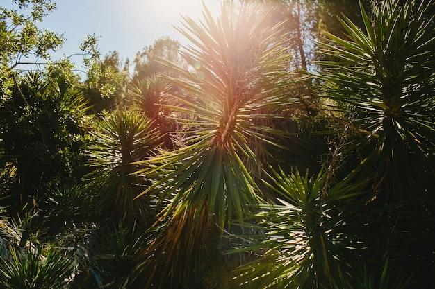 Wilde palmen mit sonnendurchbruch am mittag in einem mittelmeerwald.