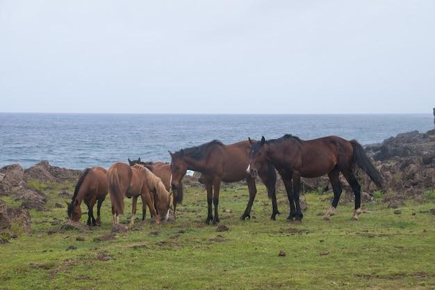 Wilde pferde auf osterinsel