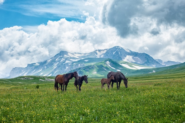 Wilde pferde, die im gebirgstal grasen