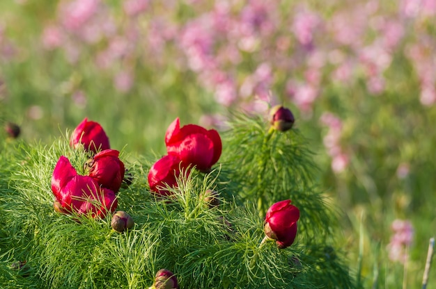 Wilde pfingstrosen blühen auf frühlingswiese
