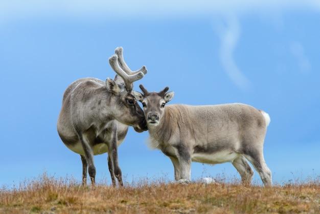 Wilde rentiermutter mit jungtier in spitzbergen-tundra