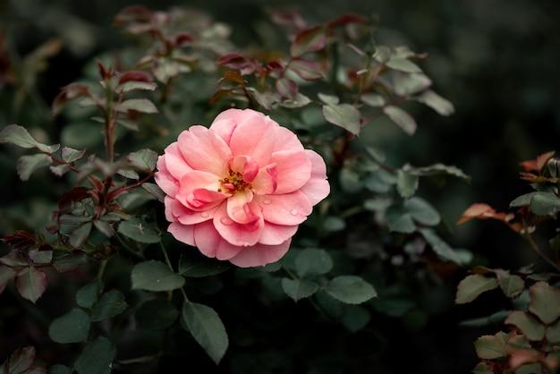 Wilde rosa rose blüht im garten auf unscharfer sommeroberfläche