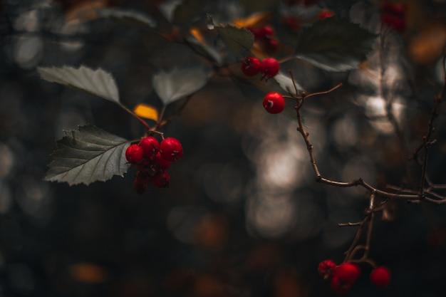 Wilde rote beeren wachsen auf trockenem herbstbaum auf unscharfem herbsthintergrund herbstliche lebende pflanze