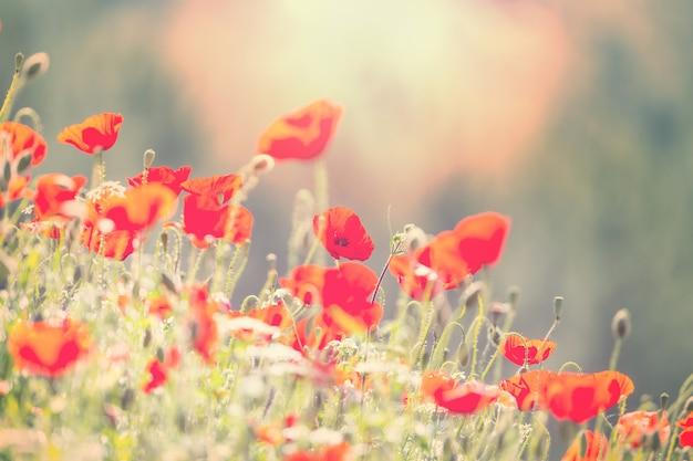 Wilde rote mohnblumen auf der wiese am sonnigen tag. mit lichtpunkten dekoriert.