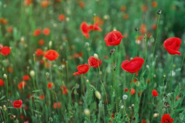 Wilde rote mohnblumen im feld. postkarte mit roten blumen der lentime. mohnknospen. platz für text. hintergrund