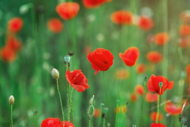 Wilde rote mohnblumen in der feldnahaufnahme. postkarte mit roten blumen der lentime. mohnknospen. platz für text. exemplar