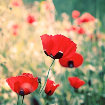Wilde rote mohnblumenblumen
