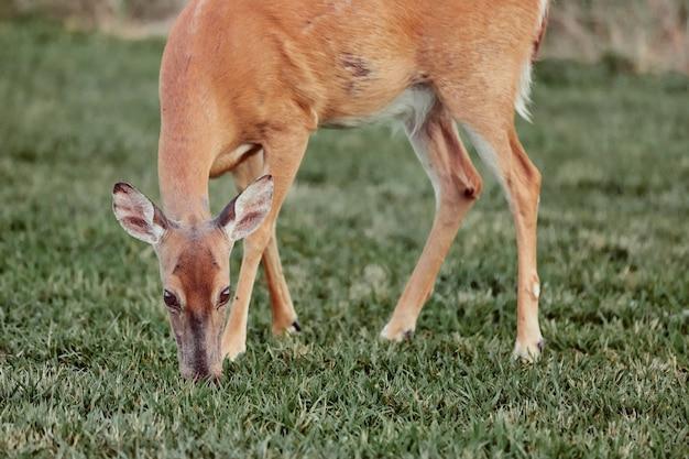 Wilde rotwild draußen im wald das furchtlose schöne und nette gras essend