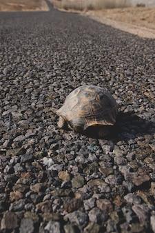 Wilde schwarze schildkröte in freiheit