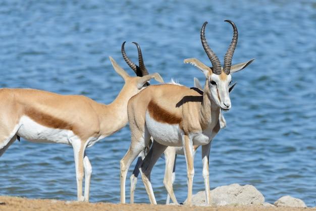 Wilde springbockantilopen in der afrikanischen savanne