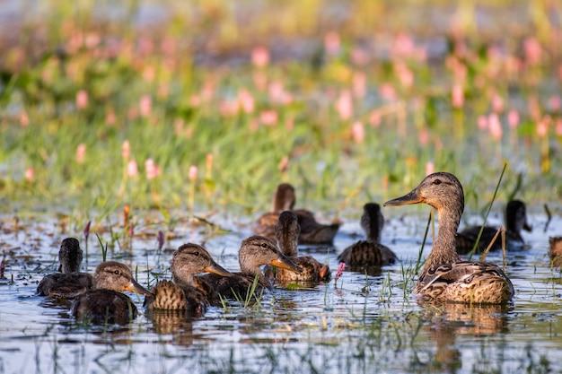 Wilde stockente mit entenküken schwimmen im teich