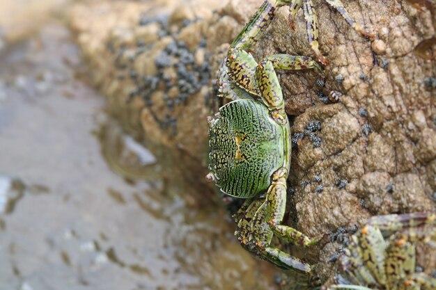 Wilde tierwild lebende tiere der grünen krabben, die an die kleine insel halten