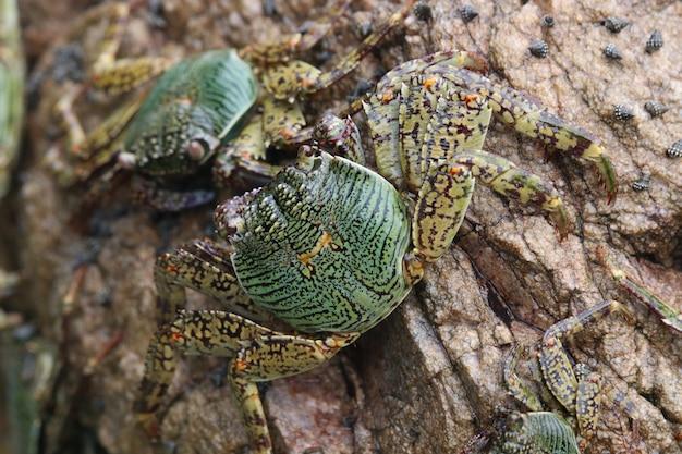 Wilde tierwild lebende tiere der grünen krabben, die an die kleine insel von meer halten