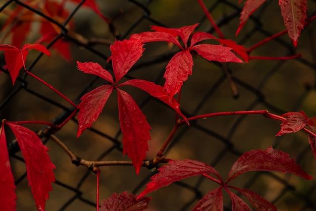 Wilde trauben im herbst piltained fence. wilde wingrad blätter im herbst. natürliche textur des herbstes