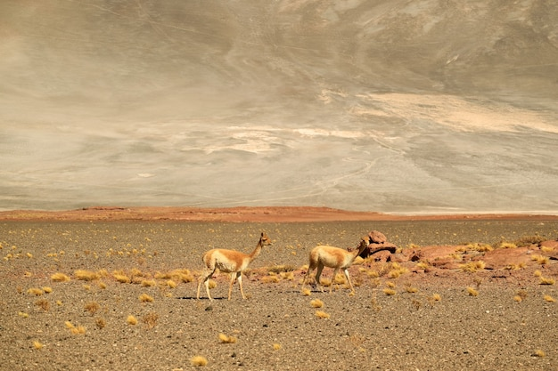 Wilde vicuna weiden auf der trockenen wüste von los flamencos national reserve von nordchile