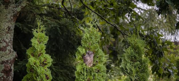 Wilde waldohreule (asio otus). ein vogel nass nach dem regen