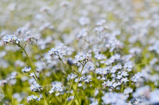Wilde wiese von schönen blauen blumen vergissmeinnicht.