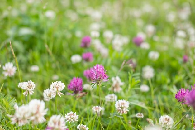Wilde wiesenrosaklee-blume im grünen gras auf dem gebiet im natürlichen weichen sonnenlicht, sommersaison