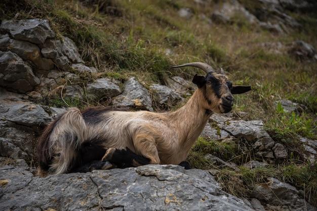 Wilde ziege auf den felsen des berges von asturien im norden von spanien