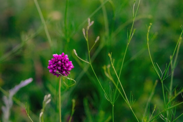 Wilde zwiebel lila blume im garten