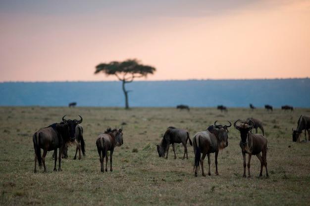 Wildebeest wildtiere in keyna