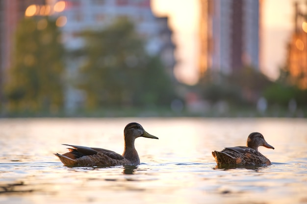 Wildenten schwimmen auf seewasser bei hellem sonnenuntergang. vogelbeobachtungskonzept.