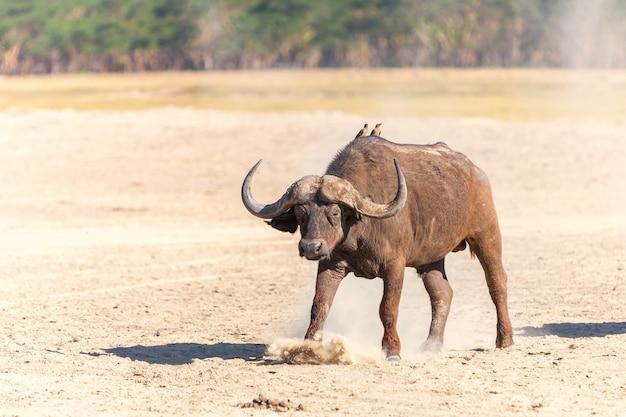 Wilder afrikanischer büffel in der savanne