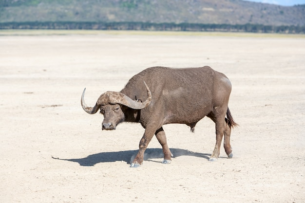Wilder afrikanischer büffel. kenia, afrika